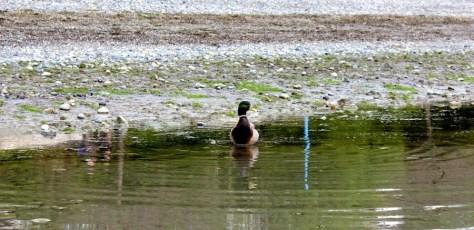 A duck on the beach in White Rock, British Columbia, Canada via ZaagiTravel.com