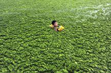 alge - Qingdao, Shandong