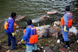 râul Huangpu - peste 3000 de porci morți