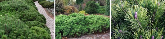 Pinus mugo 'PUMILIO' - Sosna górska