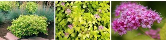 Spiraea japonica 'GOLDEN CARPET' - Tawuła japońska