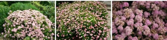 Spiraea japonica 'JAPANESE DWARF' - Tawuła japońska