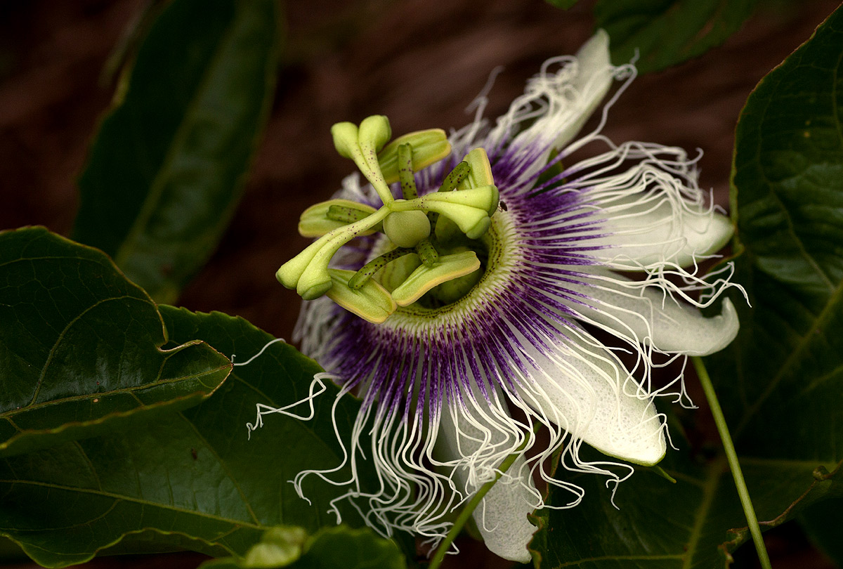 Passiflora Edulis Flora Of Zimbabwe Species Information Individual Images