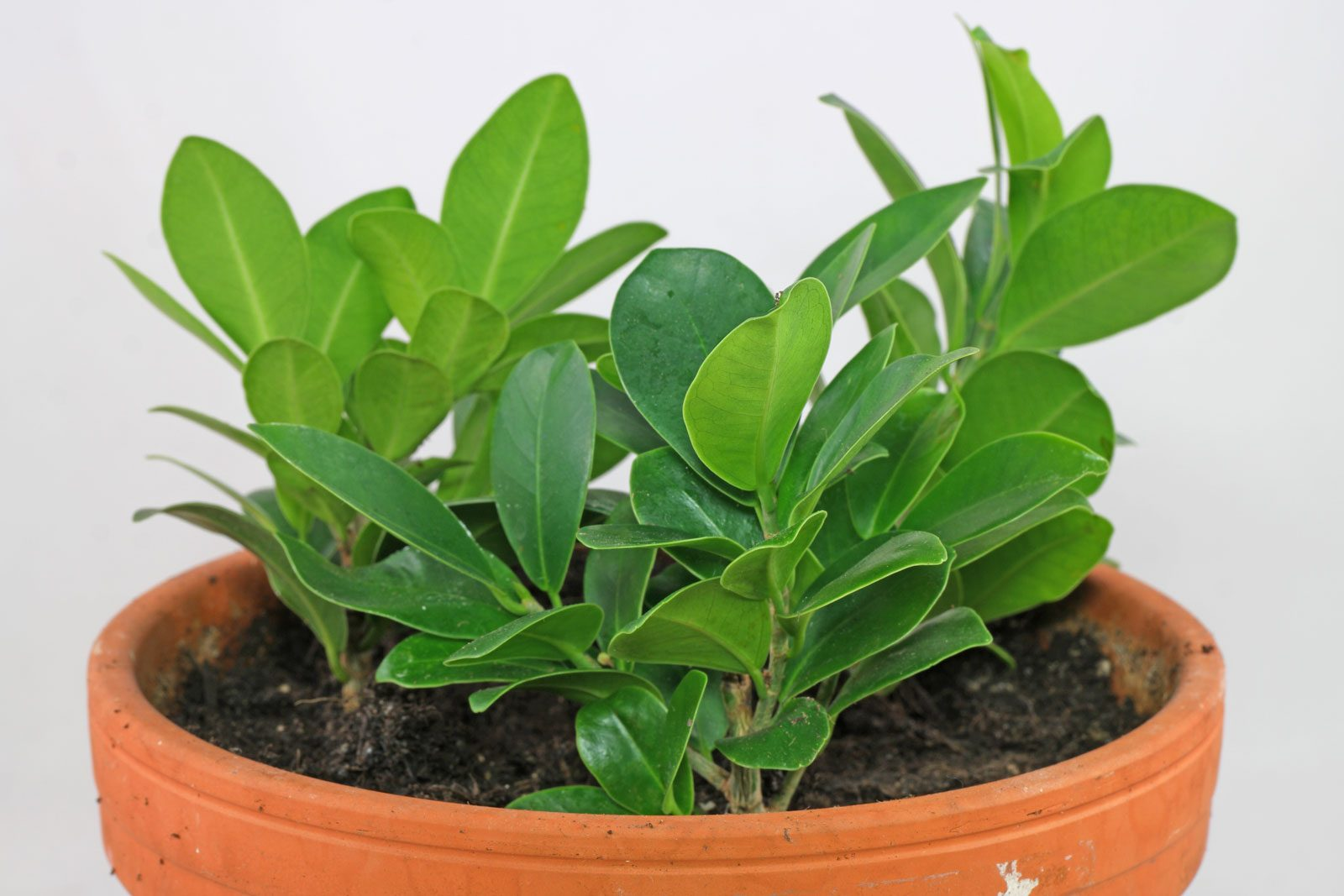 Ficus Benghalensis Pflege Lorbeerfeige Ficus Ginseng Ficus Microcarpa