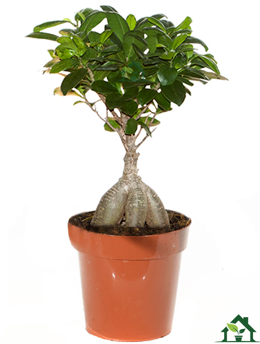 Ficus Benghalensis Pflege Chinesische Feige Ficus Microcarpa