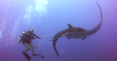 Watch These Divers Rescue A Giant Manta Ray From A Fishing Net.