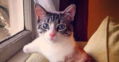 Cat Born Without Front Legs Hops Around Like A Bunny...Right Into Our Hearts!
