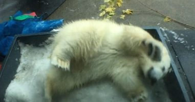 Adorable Polar Bear Who Was Abandoned By Her Mom Gets To Experience Snow For The First Time
