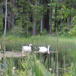 На большом пруду отдыхала от перелёта ещё одна парочка лебедей.