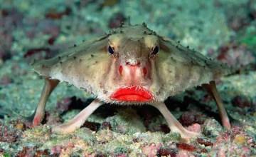 batfish