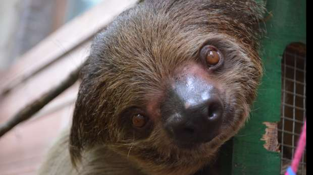 Sloth Wallpaper Cute Rainforest Life Zoological Society Of London Zsl