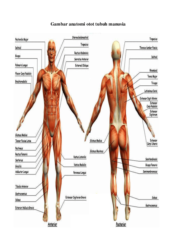 Gambar Otot Pada Manusia : gambar, manusia, Gambar, Manusia, Richi, Wallpaper