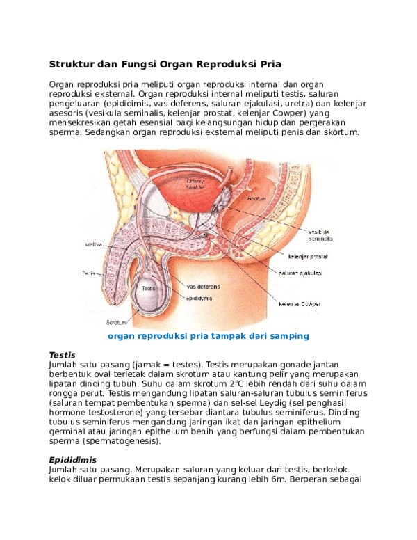 Gambar Alat Reproduksi Laki Laki Dan Fungsinya : gambar, reproduksi, fungsinya, Struktur, Fungsi, Organ, Reproduksi, Nevra, Academia.edu