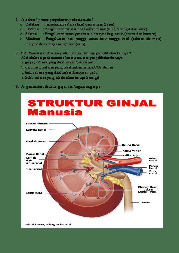 Proses Pembentukan Urin Dalam Ginjal : proses, pembentukan, dalam, ginjal, Jelaskan, Proses, Pembentukan, Ginjal, Manusia, Seputar, Bentuk