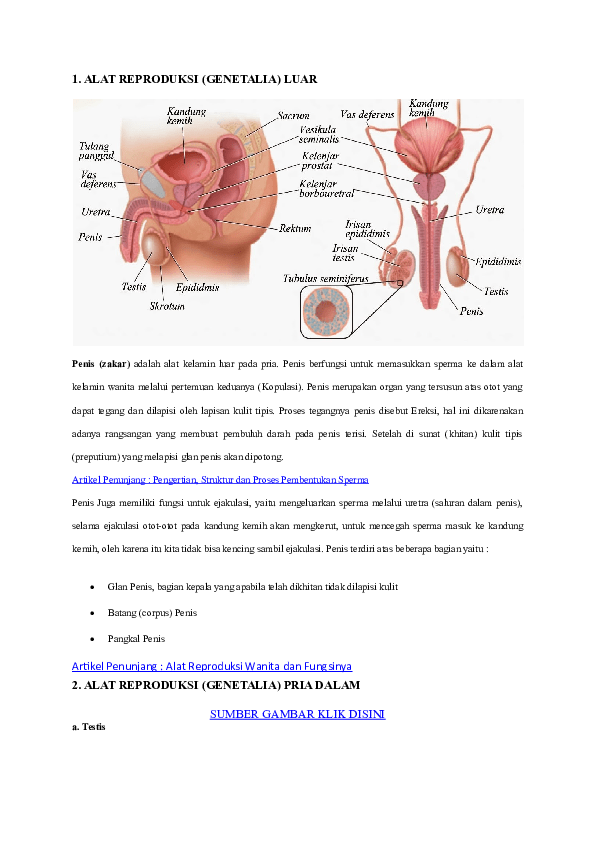 Alat Reproduksi Pria Dan Bagiannya : reproduksi, bagiannya, Struktur, Reproduksi, Fungsinya, Berbagai