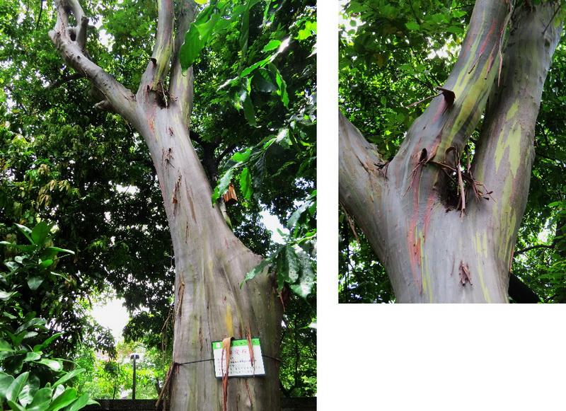 粗皮桉,桃金孃科,因為樹皮會逐層剝落露出不同的色彩,有如七彩般美麗,因此又被稱為彩虹桉,彩虹尤加利。