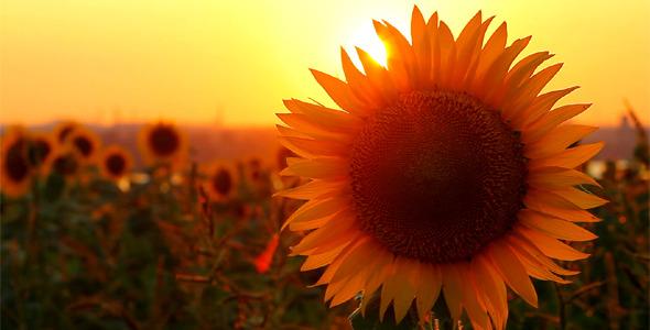 Fall Wallpaper 4d Flowering Sunflowers By Nadiya Sergey Videohive