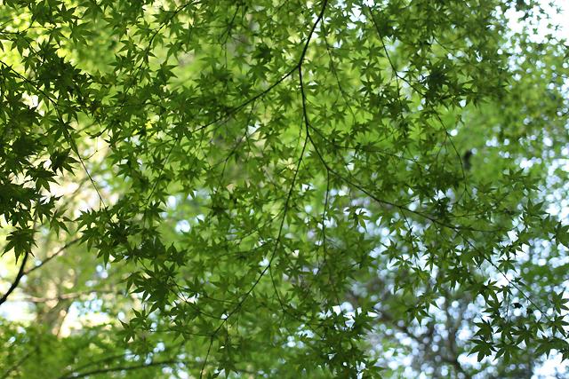 1 miyajima leaves