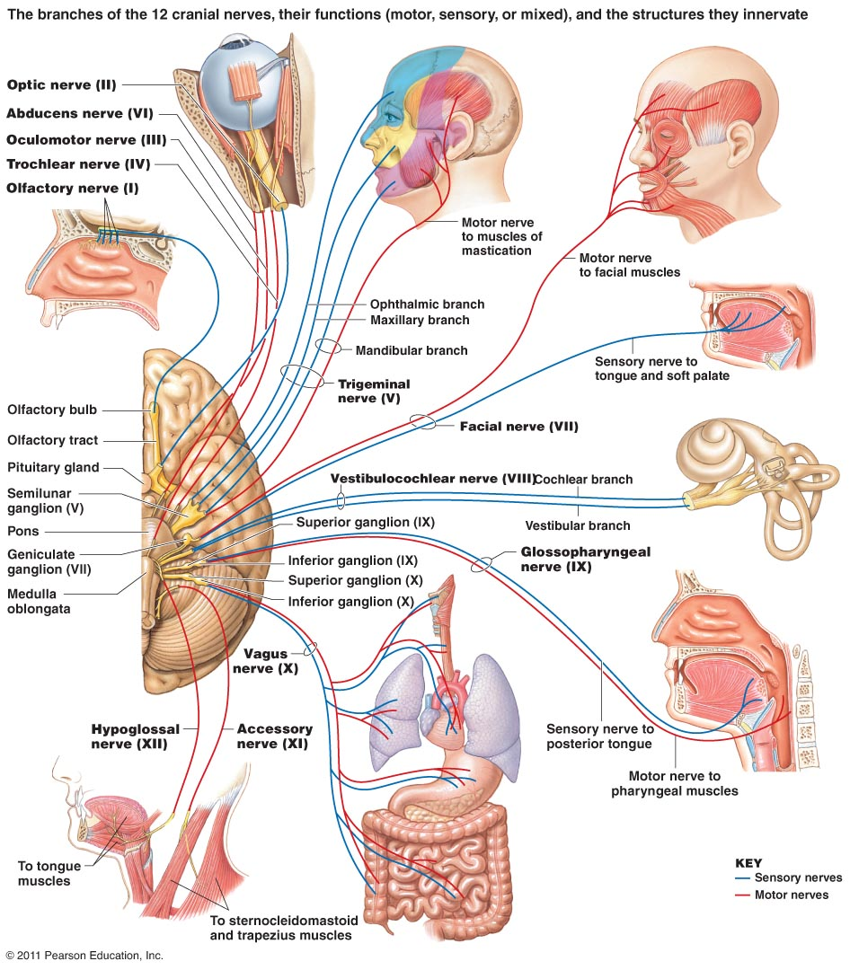 hight resolution of the function of the cranial nervous system is where all the nerves that connect the brian to the eyes ears mouth and other parts of the head