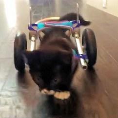 Wheelchair For Cats Hs Code Brave Kitten Escapes Death Gets 3d Voices