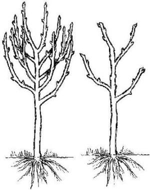 fruit trees, Hollybrook Orchards peachnectarine pruning diagram