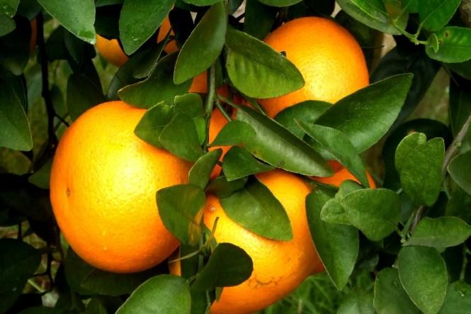 1.新奇的柑桔品種Ortanique