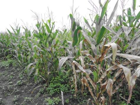 5.玉米品種間對煤紋病菌的抗性有明顯差異