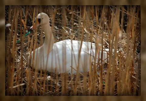 Saugatuck River swan by Christy Colasurdo