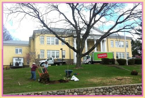 Town Hall cherry tree planting