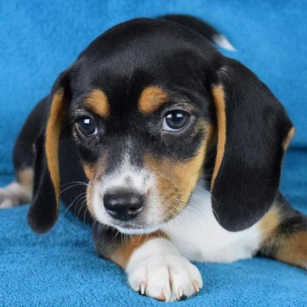 Queen Elizabeth Pocket Beagles - Puppies