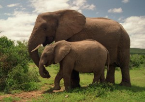 Two_Elephants_in_Addo_Elephant_National_Park