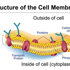 Cell Membrane Diagram Blank Les Paul Wiring Modern Unit 5 Structure And Function Cameo Taylor Victoria West