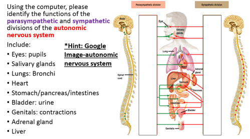 small resolution of autonomic n s divisions png