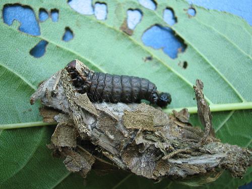 這是小明的部落格: 簑衣蟲(避債蛾之幼蟲)