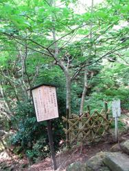 逆さ菩提樹