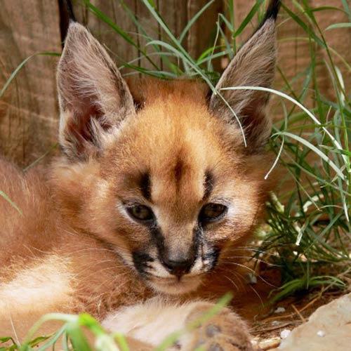 Baby Animals 100 Pics Answers