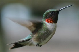 Image result for free ruby-throated hummingbird photo