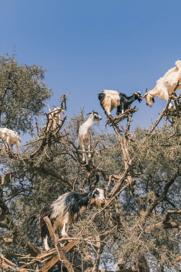 animal, argan, field, goat, grass, graze, green, isolated, landscape, morocco, nature, outdoor, plant, sheep, travel, tree