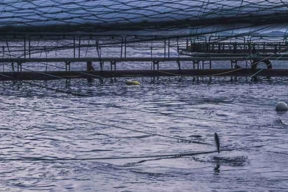H2O, Salmon, animal, aquaculture, blue, development, environment, europe, farm, farm fishing, farming, fish, fishery, fishing, fjord, food, fresh, grow, lake, marine, nature, net, no person, norway, norwegian, ocean, outdoors, park, recreation, reflection, scandinavia, sea, seafood, swimming, travel, water, wild