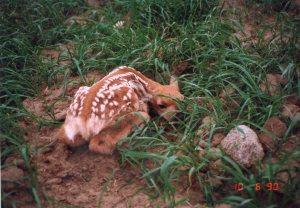 1000Butterflies.ca - mom baby deer