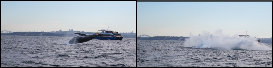 Sydney Whale watching 3