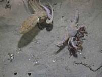 海底で繰り広げられる命をかけた戦いカニvsタコを撮影していたら(@_@;)