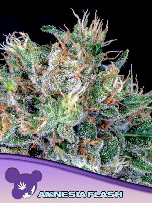 Amnesia Flash Anesia Seeds