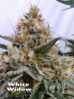 1000Seeds Genetics White widow