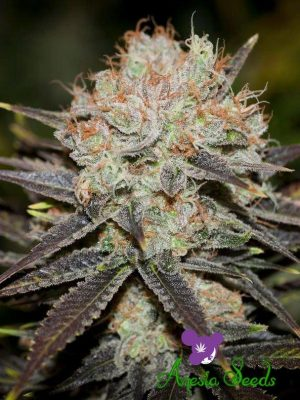 Choclate-Haze-Anesia-Seeds