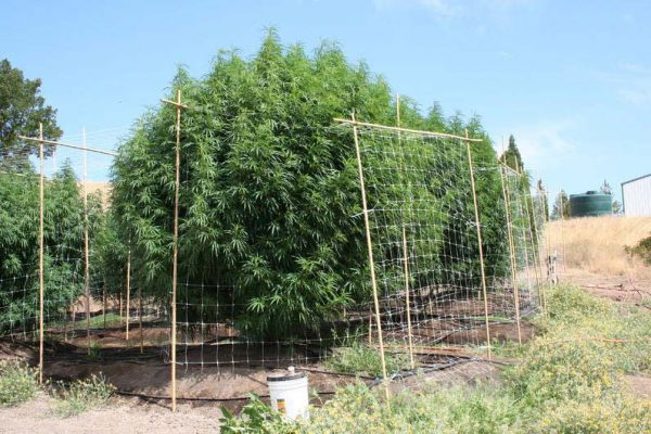 grosse Outdoor Cannabispflanzen, Sorten
