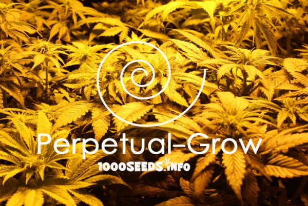Perpetual-Grow, Cannabisanbau Indoor, Grow-Manual