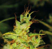 2046 (Medical Seeds) feminisierte Samen