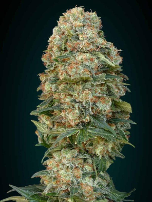 Afghan Skunk (Advanced Seeds), feminisierte Samen