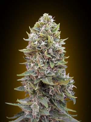 Auto Cheese Berry (00 Seeds), 5 automatic Seeds